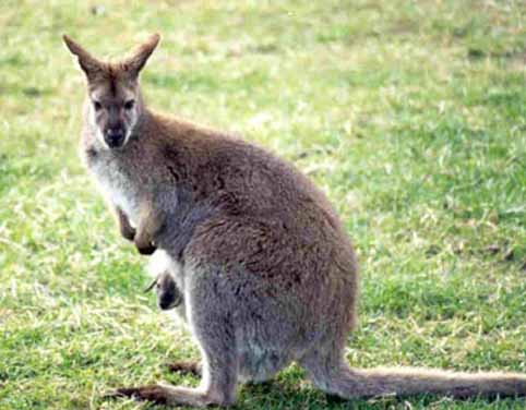 wallaby.jpeg
