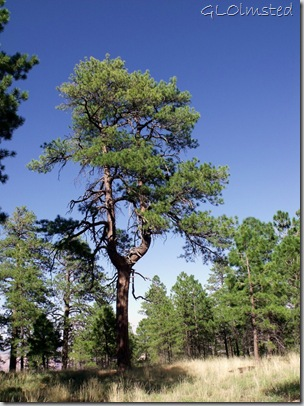 13 Y-shaped ponderosa pine along Cape Final trail NR GRCA NP AZ (765x1024)