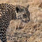 Leopard, Botswana © Stefan Frank