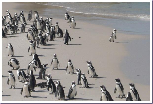 Pinguins-Cape-Town-África-do-Sul
