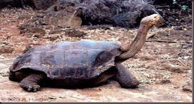 Amazing Animals Pictures Pinta Island tortoise (4)