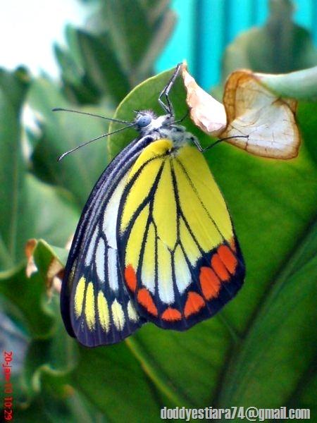 kupu-kupu 'Painted Jezebel' (Delias hyparete)
