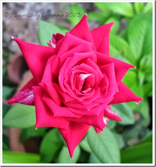 10-23-love-rose