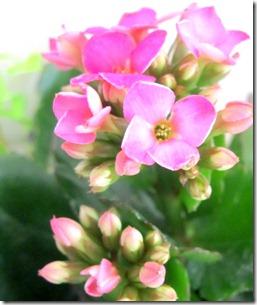 kalanchoe pink
