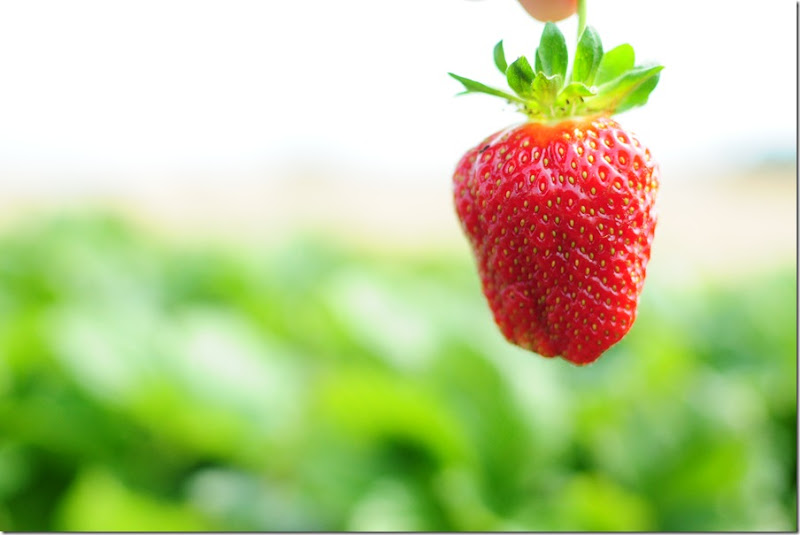 Strawberry Picking & Marcus band 036