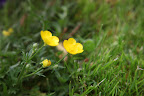 It's the buttercup family, and when most people hear buttercup, they typically think of this yellow Ranunculus auricomus!