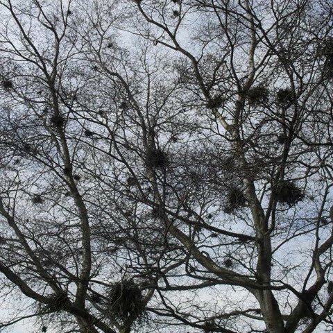 Pensthorpe - birch tree - birds nest type deformity caused by gall wasp