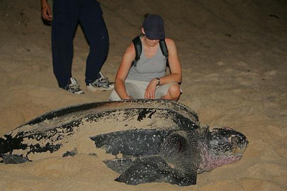 Leatherback-sea-turtle.img_assist_custom-600x400