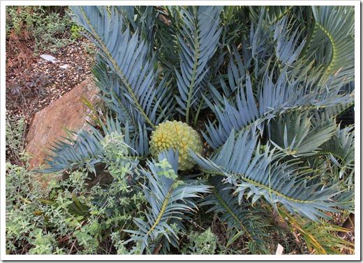 121228_UCBotGarden_Encephalartos-trispinosus_06