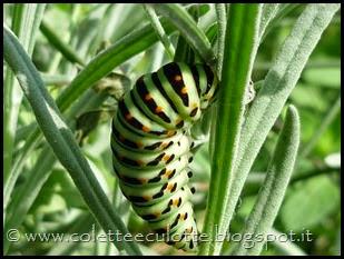 Papilio machaon (Farfalla macaone) - bruco (6)