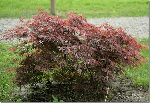 DA_JapaneseMaple