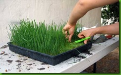 Wheat Grass1