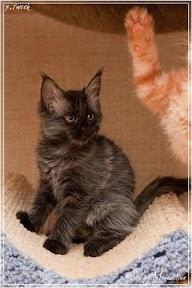 Фото история котят мейн кун в возрасте 7,5 недель 11