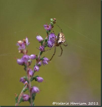 5-spider-2