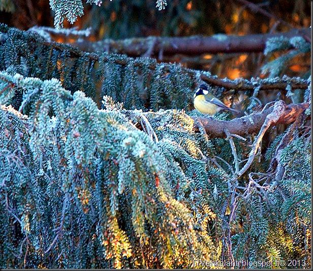 lintusia puun latvoja 011