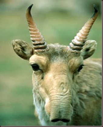 Amazing Animal Pictures The Saiga Antelope (4)