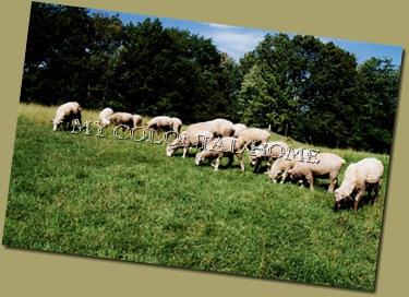 Sheep_0005