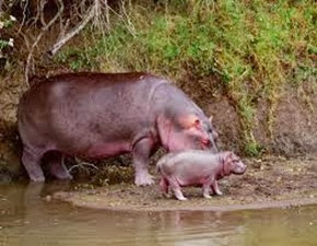 Amazing Pictures of Animals, Photo, Nature, Incredibel, Funny, Zoo, Hippopotamus, Hippopotamus amphibius, Mammals, Artiodactyl, Alex (6)