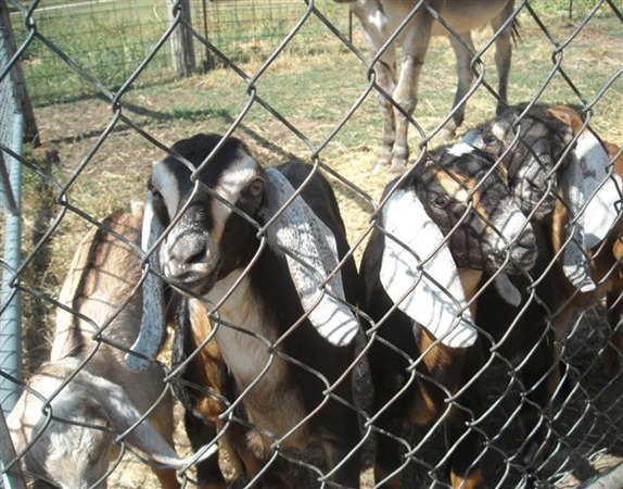 Carol and Goats 071