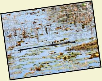 Alligator in pond
