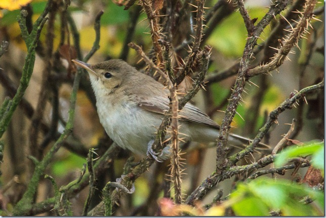 Kilminning_Eastern_Olivaceous_Warbler-3