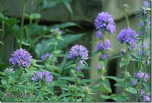 Campanula_Purple_ClusterBellflower2