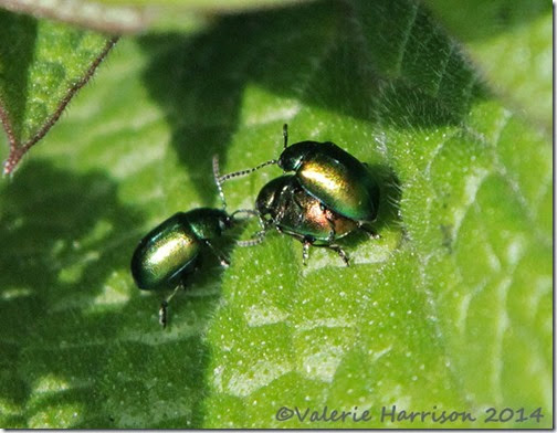 112-green-dock-beetles