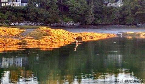 5. heron n egret in cove 9-12-14