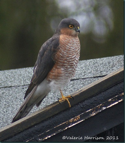 sparrowhawk-on-garage