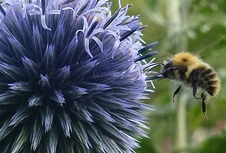 bumblebee and echinops crop