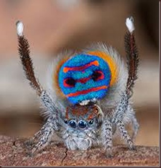 Amazing Pictures of Animals, photo, Nature ,exotic, funny, incredibel, Zoo, Maratus volans,  Peacock spider or Gliding spider, Alex (2)