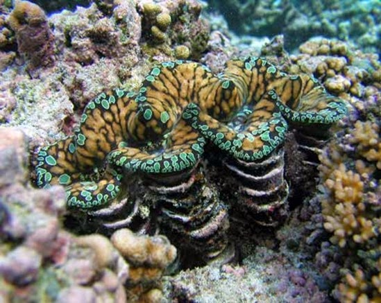 Amazing Pictures of Animals, Photo, Nature, Incredibel, Funny, Zoo, Fluted giant clam, Tridacna squamosascaly clam, Alex (15)