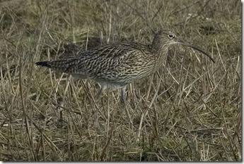 CURLEW 10