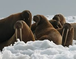 Amazing Pictures of Animals, photo, Nature, exotic, funny, incredibel, Zoo, Walrus,Odobenus rosmarus, Alex (6)