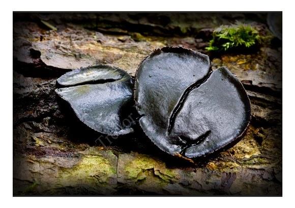Mini Fungi 10
