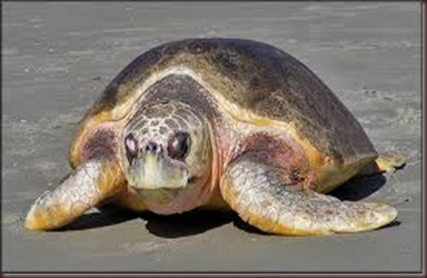 Amazing Pictures of Animals Caretta Caretta  Loggerhead sea turtle.Alex (2)