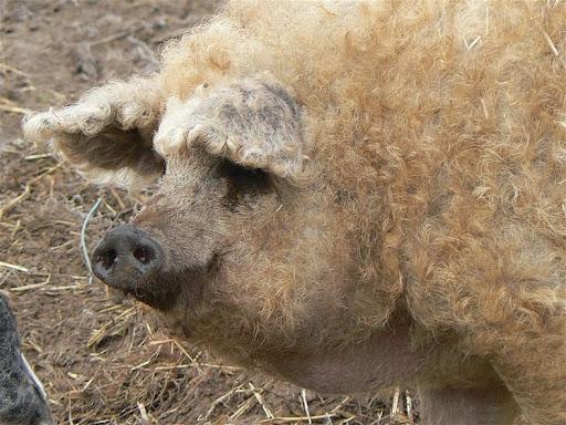 Wall Street financier becomes the master of Mangalitsa pork
