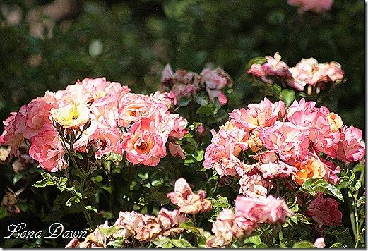 EJC_Roses_Drift