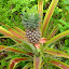 Pineapple Growing On The Path - Dravuni Island, Fiji