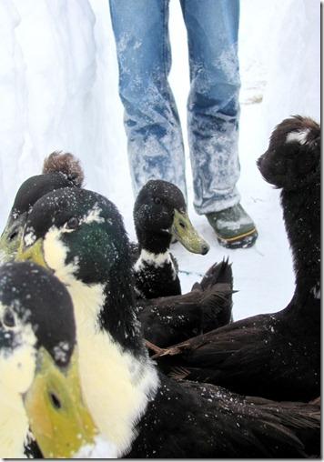 david's ducks