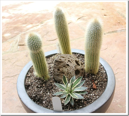 110205_Cleistocactus strausii   Agave Shira ito no Ohi_01