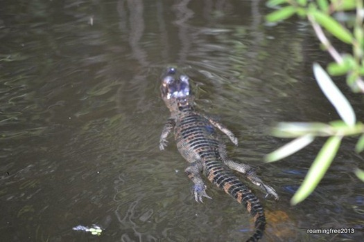 Baby gator swimming away from us!