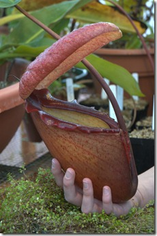 11-12-2007_cultivated_Nepenthes_rajah