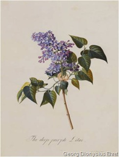 georg-dionysius-ehret-the-deep-purple-lilac-a-botanical-illustration