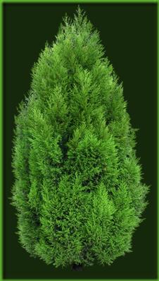 Cypress_Tree