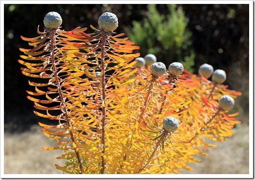121027_UCSCArboretum_Leucadendron-linifolium_03