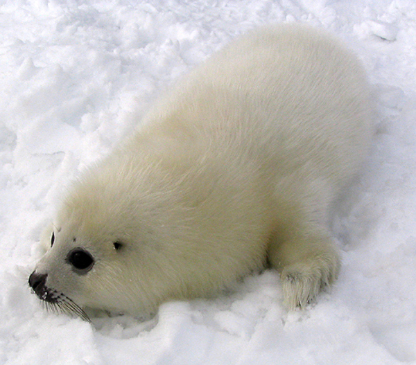 A harp seal pup. Photo: Matthieu Godbout