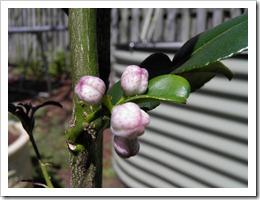 kaffir flower