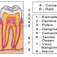 partes do dente.jpg