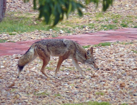 Campground Coyote